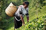 Farmer Polly Mukami picking tea, Kathangiri, Kenya, East Africa, Africa