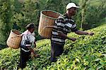 Farmer Lincoln Kimanthi Mugo and his wife Polly Mukami picking tea, Kathangiri, Kenya, East Africa, Africa