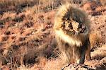Lion (Panthera leo) in bush, Namibia, Africa