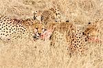 Cheetah (Acynonix jubatus), Kalahari plains, Namibia, Africa