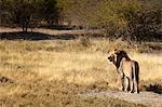 Lion (panthera leo), Namibia, Africa