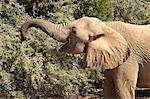 Désert éléphant (Loxodonta africana), endémique de la Namibie, adapté pour le désert et des vallées fluviales, Kaokoland, Namibie, Afrique