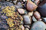 Algues et des pierres sur la plage de Catterline, dans l'Aberdeenshire, en Écosse, Royaume-Uni, Europe