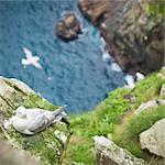 Sauvage et le Fulmar boréal (Fulmarus glacialis), île de Village Bay, Hirta, St. Kilda Islands, Hébrides extérieures, en Écosse, Royaume-Uni, Europe