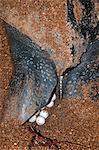 Gros plan de la tortue luth (Dermochelys coriacea) montrant les oeufs sont pondus, Shell Beach, Guyane, Amérique du Sud