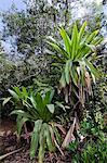 Giant tank bromeliads (Brocchinia micrantha), Kaieteur National Park, Guyana, South America