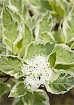 Flower of Cornus Controversa Variegata