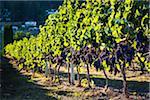 Grapes on Grapevines in Vineyard, Kelowna, Okanagan Valley, British Columbia, Canada