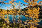 Autumn Larch Surroungin Larix Lake, Rock Isle Trail, Sunshine Meadows, Mount Assiniboine Provincial Park, British Columbia, Canada