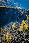 Alpine Larch on Mountain Ridge in Rocky Landscape, Lake McArthur Trail, Yoho National Park, British Columbia, Canada