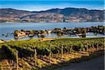 Vineyard in Kelowna, British Columbia, Canada