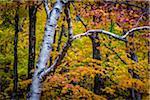 Close-Up of Birch Tree Amongst Autumn Forest Foliage