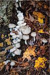 Close-Up of Mushroom Fungi Growing at Base of Tree in Autumn