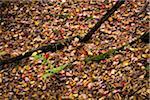 Fallen Trees Amongst Autumn Leaves on Forest Floor
