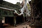 Silk cotton trees growing around Ta Prohm, Angkor Wat, Cambodia