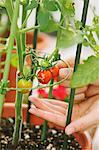 Hands picking cherry tomatoes