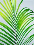 A palm-leaf, close-up, Sweden.