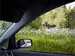 Elk seen from car
