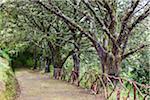 Footpath Leading Through a Rainforest with Lichen Covered Trees, Queimadas, Santana, Madeira, Portugal