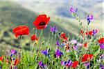 Red Poppy Flowers (Papaver Rhoeas) and Purple Viper's Bugloss (Echium Plantagineum), Corsica, France