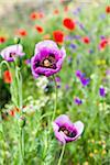 Pink Poppy Flowers (Papaver), Corsica, France