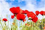 Red Poppies (Papaver Rhoeas) Against the Blue Sky, Costa Smeralda, Sardinia, Italy