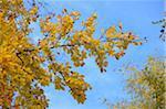 European Beech (Fagus sylvatica) Leaves in Autumn, Upper Palatinate, Bavaria, Germany