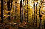 European Beech (Fagus sylvatica) Forest in Autumn Foliage, Upper Palatinate, Bavaria, Germany