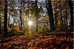 Sun Rays through European Beech (Fagus sylvatica) Forest in Autumn, Upper Palatinate, Bavaria, Germany