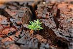 Norway Spruce (Picea abies) Seedlings Growing in Old Wood, Upper Palatinate, Bavaria, Germany