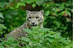 Snow Leopard (uncia uncia) in Lush Vegetation