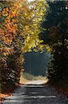 Gravel Road through European Beech Forest in Autumn, Upper Palatinate, Bavaria, Germany