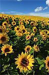 Sunflower field in Shikisai hill, Hokkaido