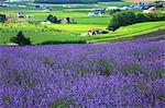 Flower field in Zerubu hills, Hokkaido