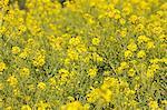 Field mustard flowers