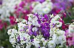 Flower field in Chikura, Chiba Prefecture