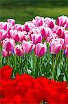 Tulip flowers, Tokyo Prefecture