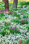 Japanese Primrose flowers, Ibaraki Prefecture