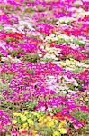 Chrysanthemum flowers, Tokyo Prefecture