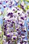 Japanese Wisteria flowers