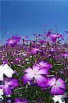 Corncockle flowers and blue sky