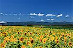 Sunflower field, Hokkaido