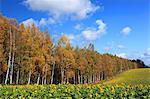 Birch forest in Biei, Hokkaido