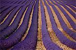 Rows of purple flowers in field
