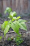 Dwarf green bean plant growing on an allotment