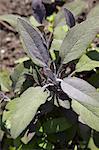 Growing Sage plant