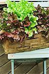 Lettuce growing in a plant basket on a terrace