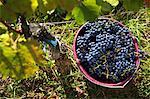 Grape harvesting in Burgenland: A bucket of Blaufränkisch grapes