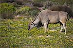Eland,Namaqualand, South Africa