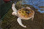 White colored sea turtle